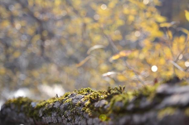 Autunno. vista di un tronco coperto di corteccia e muschio sulla foresta di autunno con bokeh e chiarore.
