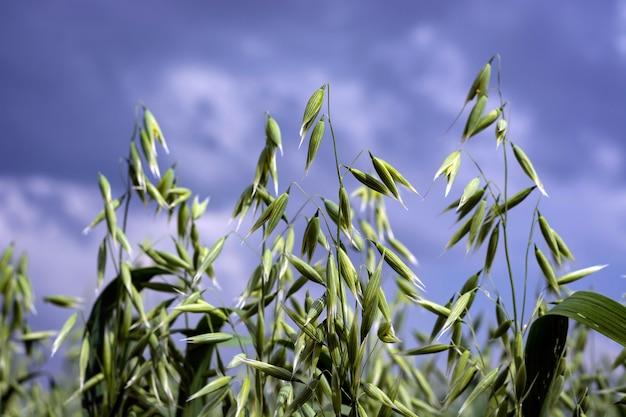 Avena verde in un campo in una giornata di sole estivo
