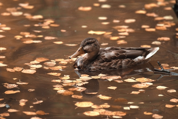 Avvicinamento. in autunno il parco anatra nuota nel lago, circondato da foglie cadute.