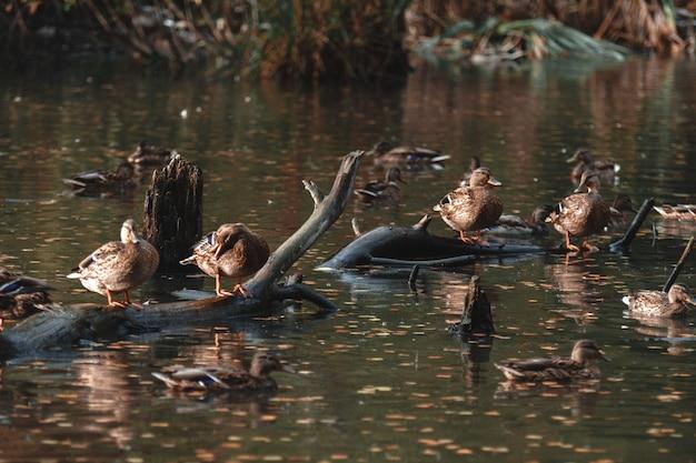 Avvicinamento. nel parco autunnale molte anatre nuotano nel lago
