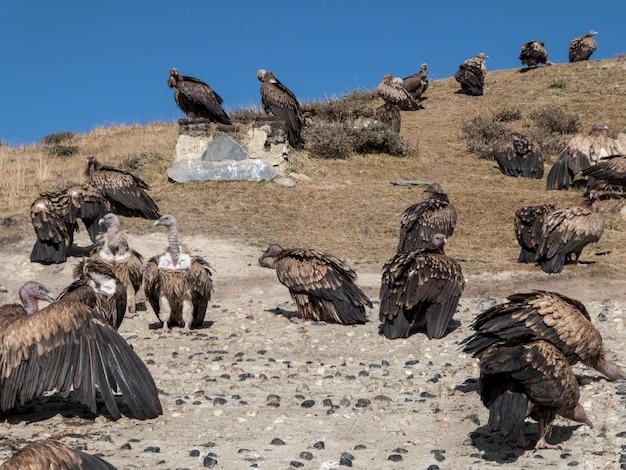 Avvoltoi che aspettano il loro pasto in una cerimonia di sepoltura del cielo a yarchen gar, in cina