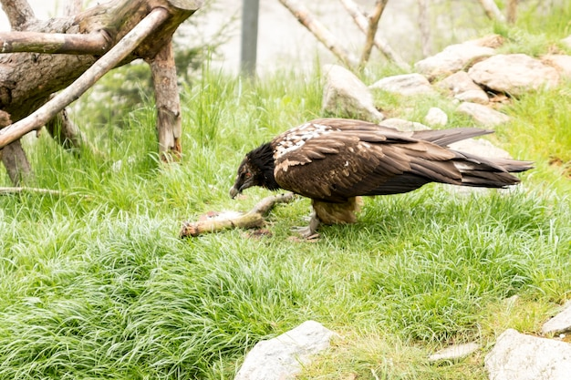 Avvoltoio barbuto