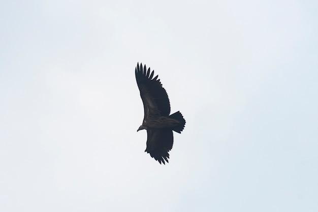 Avvoltoio himalayano sul cielo, tailandia