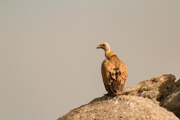 Avvoltoio marrone adulto su una grande pietra