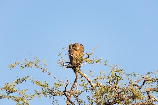Avvoltoio marrone appollaiato sul ramo di un albero di acacia. teleobiettivo, cielo blu chiaro. kruger national park, destinazione di viaggio in sudafrica.