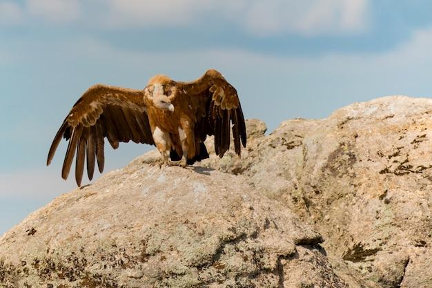 Avvoltoio nero adulto che mangia su una grande pietra