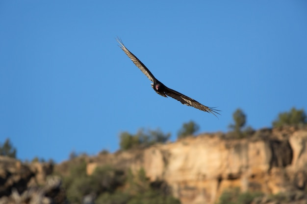 Avvoltoio volante nello utah