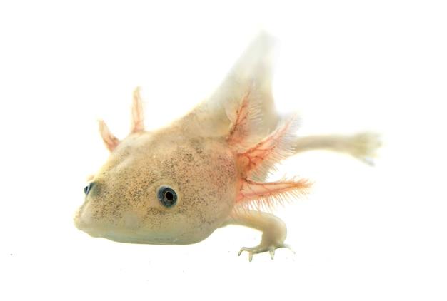 Axolotl pesce