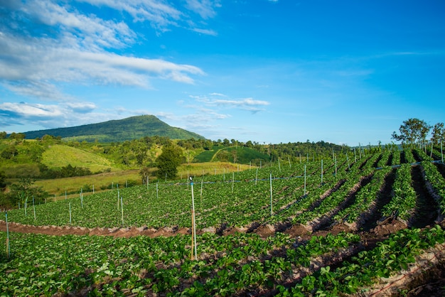 Azienda agricola della pianta di fragola sulla piantagione delle fragole fresche della collina