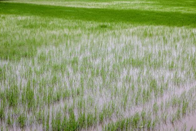 Azienda agricola della pianta di riso del germoglio in tailandia prima del tramonto