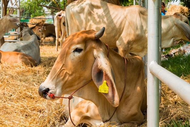 Azienda agricola di bestiame in tailandia
