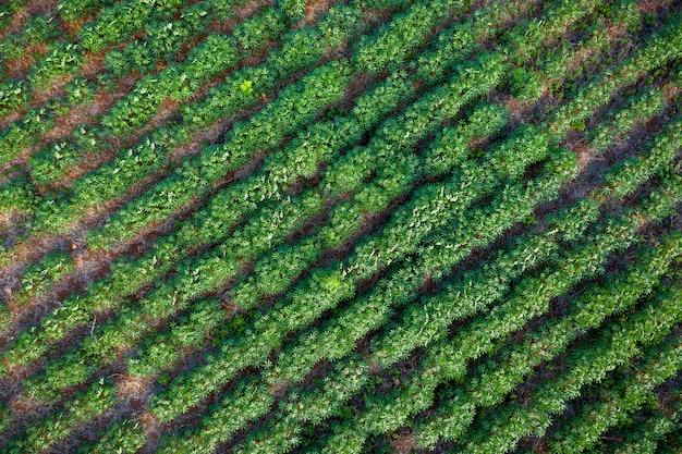 Azienda agricola di tapioca nella zona agricola nella vista aerea della tailandia