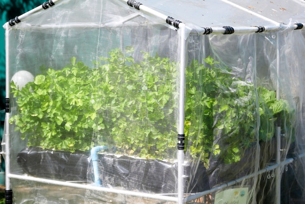 Azienda agricola di verdure idroponica organica che cresce in serra