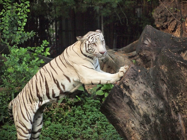 Azione di tigre bianca