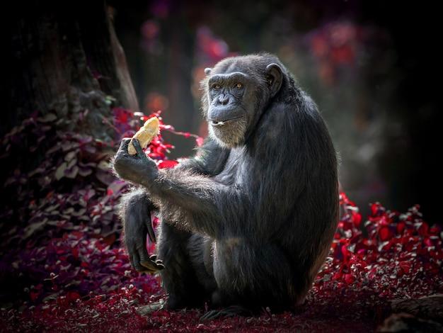 Azione di uno scimpanzé, seduto nel suo ambiente naturale dello zoo.