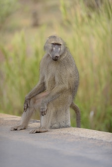 Babbuino seduto su una roccia sul lato della strada