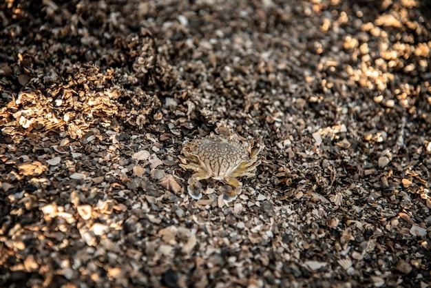 Baby blue swimming granchio sulla spiaggia