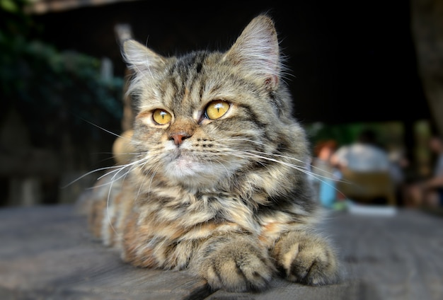 Baby maine coon feeling gatto
