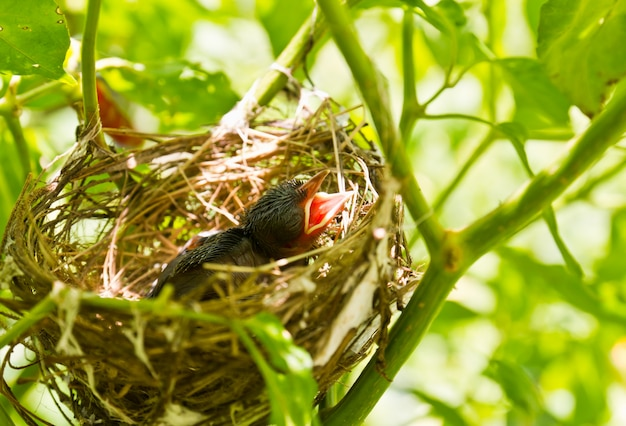 Baby robins in un nido