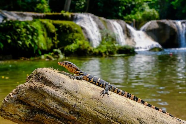 Baby water monitor varanus salvator vivere sul legno intorno alla cascata