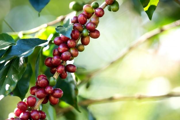 Bacca del chicco di caffè che matura sulla fattoria di caffè
