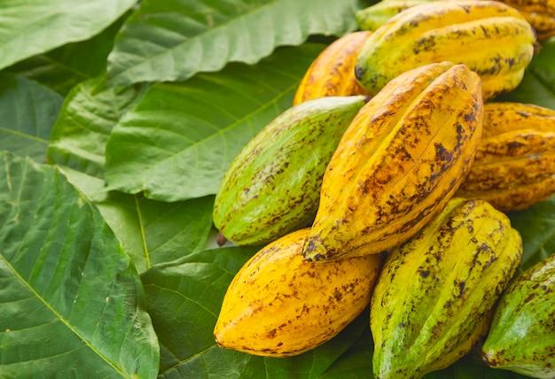 Baccelli di cacao con foglia di cacao su uno sfondo bianco