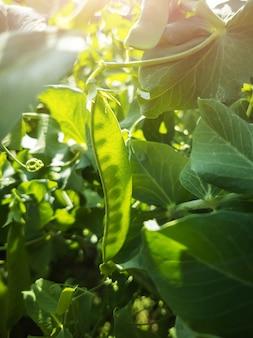 Baccelli di pisello appesi a un ramo. sole splendente.