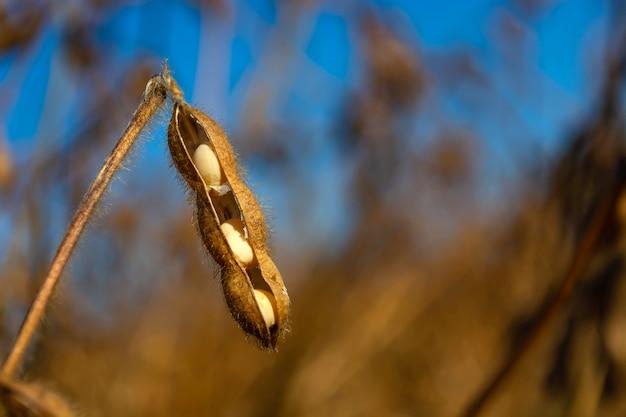 Baccelli di soia in un campo
