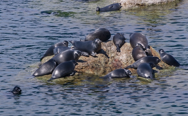 Baccello di foche grigie dell'atlantico trasportato su rocce sulle isole farne sulla costa del northumberland.
