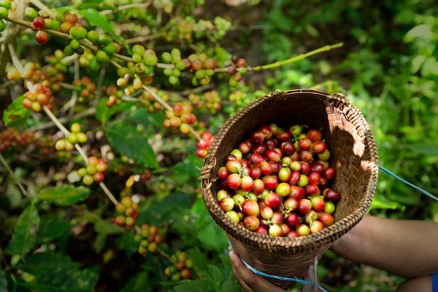 Bacche del caffè dell'arabica del raccolto del lavoratore sul suo ramo, affare di industria di economia di agricoltura