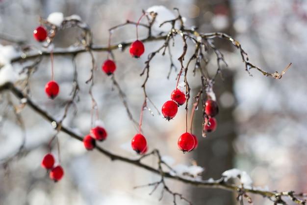 Bacche di biancospino rosse glassate sotto neve su un albero nel giardino