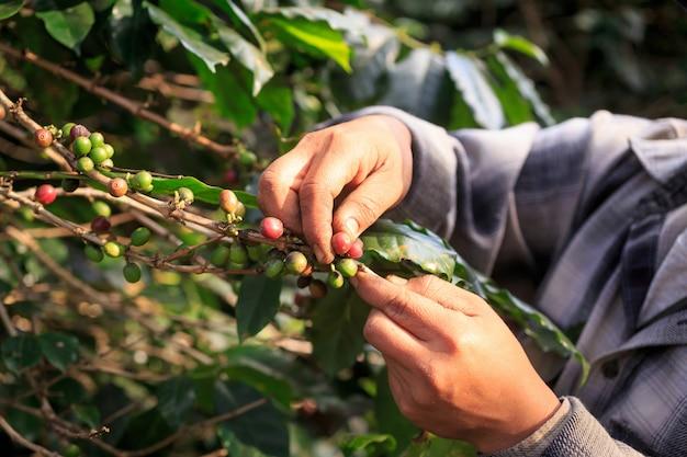 Bacche di caffè arabica con mani di agricoltore