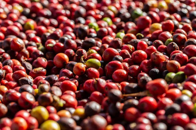Bacche di caffè arabica fresche. fattoria di caffè biologico