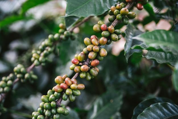 Bacche di caffè verde e rosso arabica dalla pianta del caffè nel villaggio di akha di maejantai sulla collina a chiang mai, thailandia.