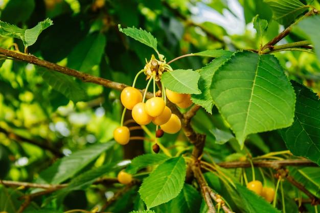 Bacche di ciliegia gialla su un ramo.