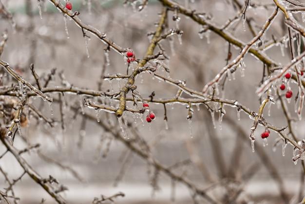 Bacche di rosa canina e rami di albero coperti di ghiaccio