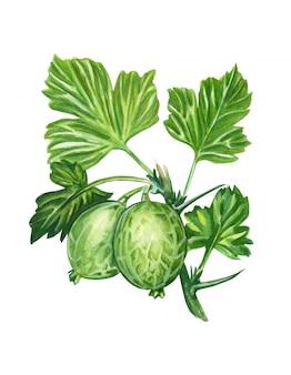 Bacche di uva spina dell'acquerello con foglie