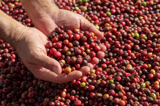 Bacche fresche di caffè arabica