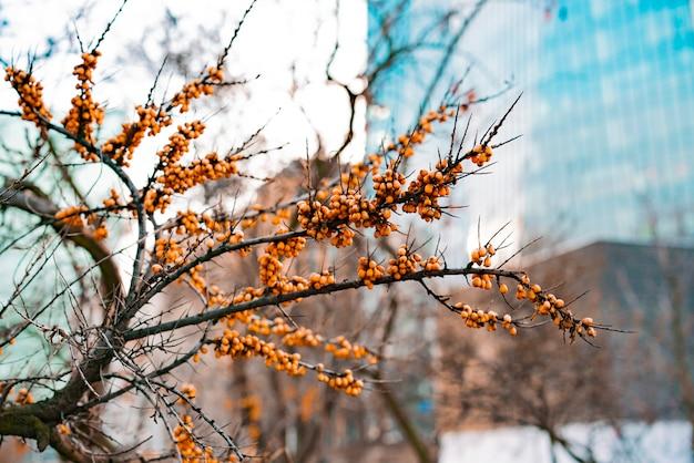 Bacche gialle luminose dello marino spincervino su un ramo nella città