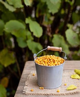 Bacche mature dell'olivello spinoso in un secchio