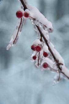 Bacche rosse congelate e neve