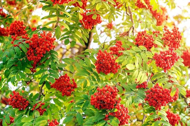 Bacche rosse di cenere di montagna alla luce del sole