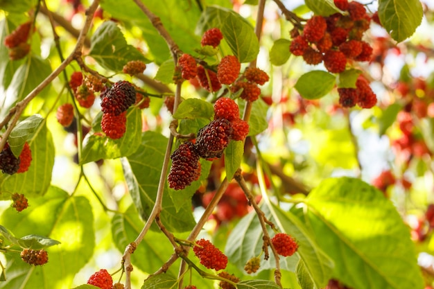 Bacche rosse e viola mature di gelso su un albero da frutto sotto il sole luminoso