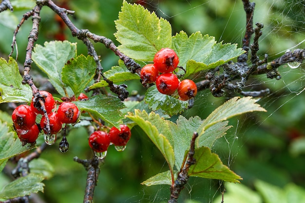 Bacche rosse sotto la pioggia