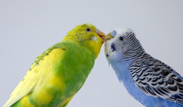 Bacia i pappagalli ondulati. piccoli uccelli si toccavano l'un l'altro i becchi