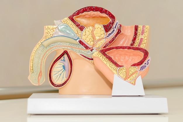 Bacino maschile, anatomia del sistema urinario e riproduttivo maschile, sezione trasversale tagliata