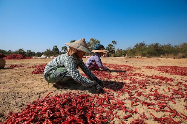 Bagan, myanmar - 3 febbraio 2017: persone raccogliendo peperoncino secco su un campo a bagan, myanmar