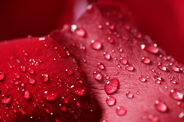 Bagni i macro petali di rosa alti vicini, gocce di acqua