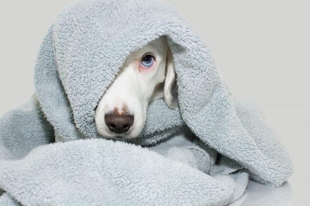 Bagno del cane. sveglio del cucciolo sveglio con un tovagliolo blu pronto per doccia.