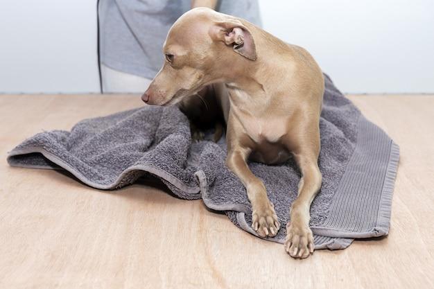 Bagno nella vasca da bagno di casa di un cane levriero italiano